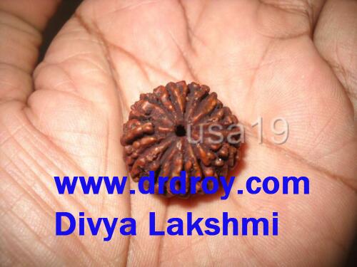 14 mukhi rudraksha